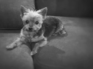 Charlie is modeling here in my sister's condo on her couch, but no one would know that.